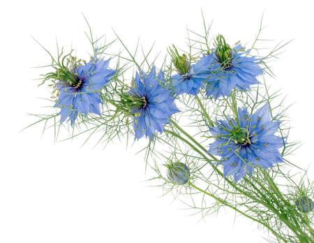 美しいコテージ ガーデン植物。Loveinamist。クロタネソウ。分離されました。