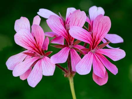 trailing: Pink trailing geranium detail