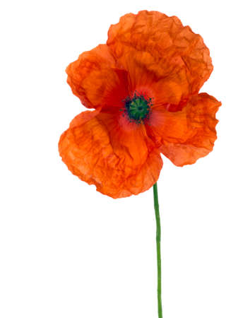 crinkled: Crinkled petals. Flanders aka corn poppy isolated. Remembrance Day.