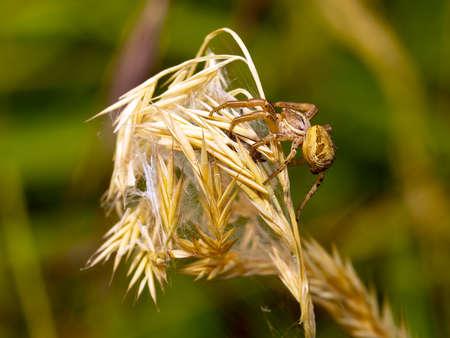 xysticus: Small arachnid. Ground crab spider Xysticus.