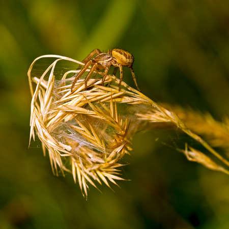 xysticus: Macro. Ground crab spider Xysticus.