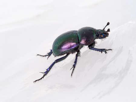 dung: Iridescent dung beetle macro