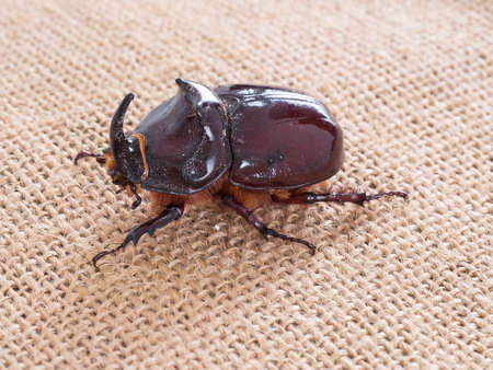 oryctes: Large hairy beetle with horn. Rhinoceros beetle. Stock Photo