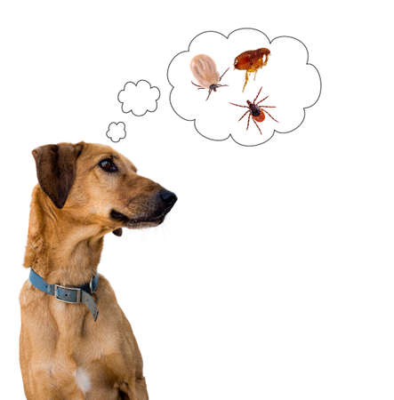 Dog thinking of tick flea. Pet health. White background.