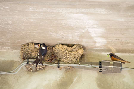 neighbouring: Phoenicurus phoenicurus and Hirundo rustica. Swallows and Redstart in neighbouring nests. Stock Photo