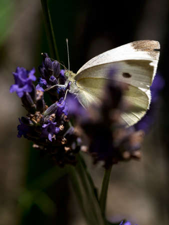 bedraggled: Cabbage white butterfly. Clearly a survivor of past adventures.