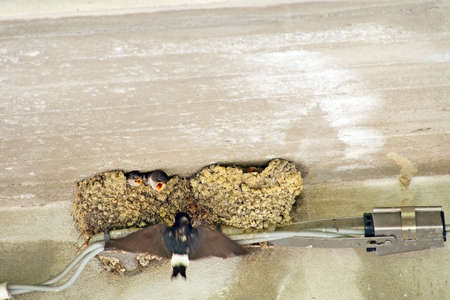 gape: Swallows. Parent arriving with food. Hirundo rustico. Stock Photo