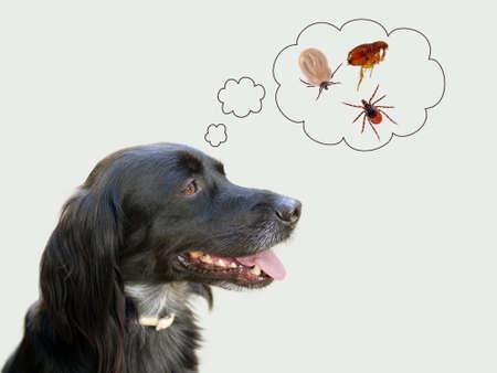 Thiking perro del riesgo de enfermedad de garrapatas, pulgas. NB mi perro! Foto de archivo - 43325378