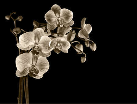 Sepia tinted orchid. Ideal sympathy card etc. Stock Photo