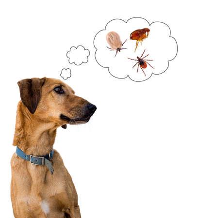 Veterinary , pet care. Dog thinking about ticks, fleas.