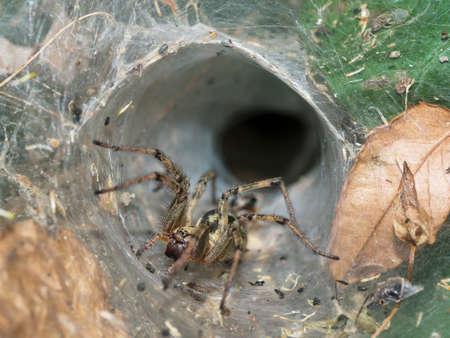 European funnel web spider.