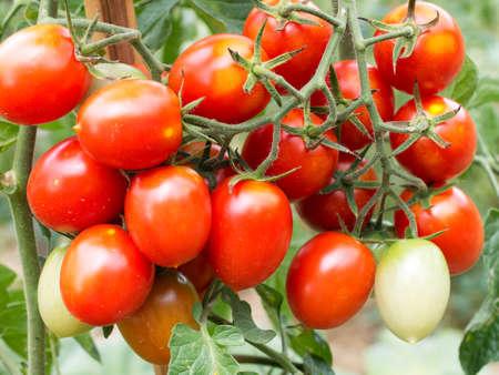 ripen: Genuine garden tomatoes ripen in the sun