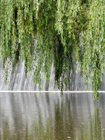 weeping willow: Weeping willow tree water with reflections
