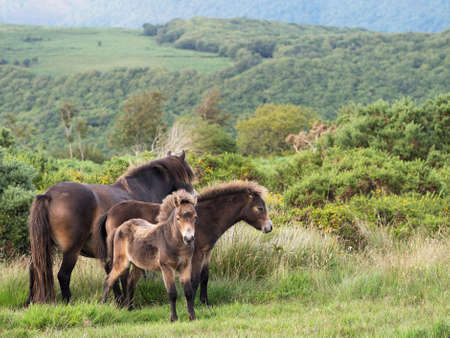 exmoor: Exmoor ponies, family group. Differential focus.