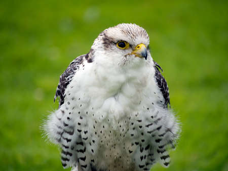 lanner: Falconry etc. Stock Photo