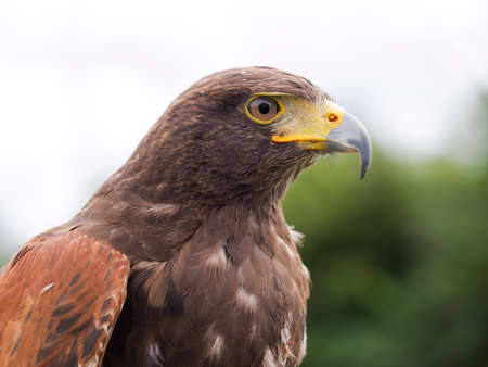 Raptor. Bird of prey. Stock Photo