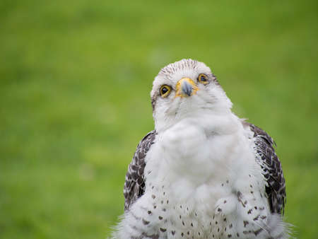Falconry etc. Young Gryx Lanner falcon, Stock Photo