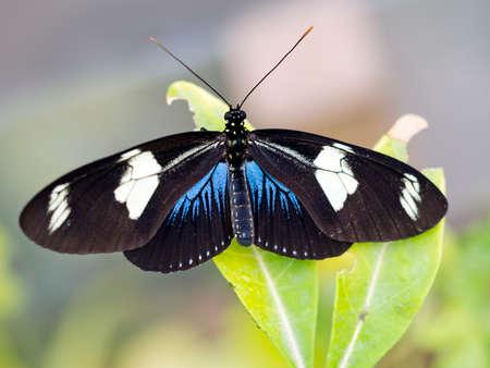 longwing: Sara Longwing butterfly.