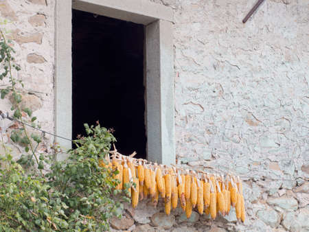 drying corn cobs: Corn drying. Lunigiana, Italy. Stock Photo