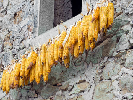 drying corn cobs: Corn cobs out to dry. Rural life. Lunigiana, Italy. Stock Photo