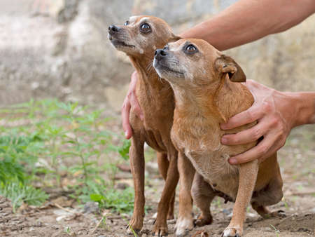 inseparable: Rescue dogs. Inseparable. Miniature Pinschers.