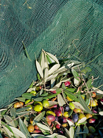 tranfer: Olives harvested in nets. Sunny day. Italy. Stock Photo