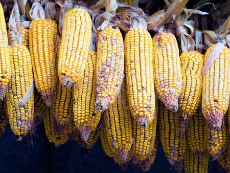 fodder corn: Corn cobs drying, rural life Italy