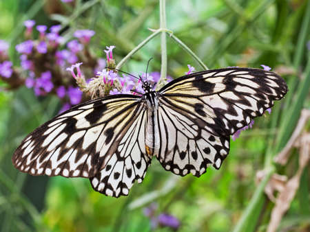rice paper: The paper kite, rice paper, or large tree nymph butterfly. Idea leuconoe. From south east Asia.
