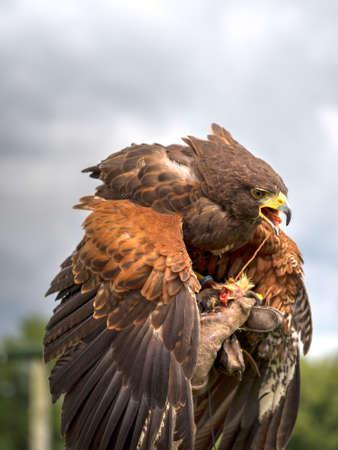 cetreria: Harris hawk feeding on hand, covering prey. Falconry etc Foto de archivo