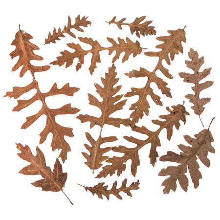 quercus: Quercus leaves isolated on white. Probably Cerris. Stock Photo