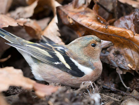 chaffinch: Young male chaffinch Stock Photo