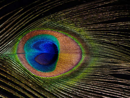 peacock eye: Peacock feather eye detail