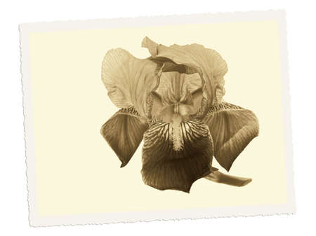 old photograph: Vintage, retro iris flower. Filtered sepia toned, like old photograph Stock Photo
