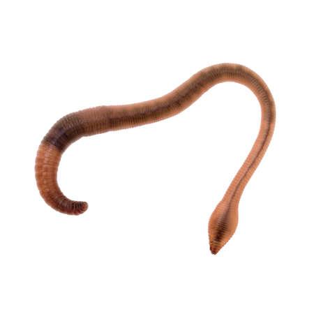 wigglers: Ideal junior school science etc. Detailed photo. Cleam worm.