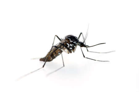Tiger mosquito, Aedes albopictus. Stock Photo