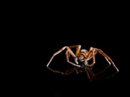 philodromus: Closeup shot Philodromus spider. With reflection.
