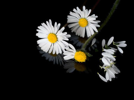 innocence: Daisies and petals on shiny black with reflection. Innocence concept.