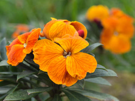 wallflower: Erysimum. Orange wallflower detail.