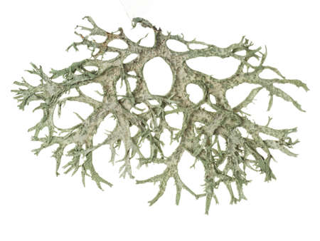 Pressed lichen from twig macro Stock Photo