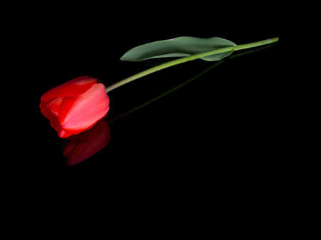 tribute: Red tulip flower lying on black. Ideal tribute, memorial, bereavement message etc.