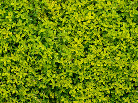 tomillo: Tomillo, hierba. Fondo.