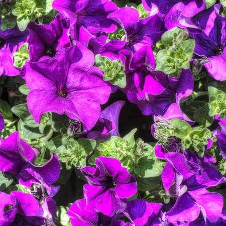 petunias: Petunias. Closeup of bright garden plant, flowers.