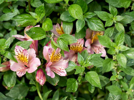 overrun: Beautiful survivors, alstroemeria flowers almost overrun by weeds of Pellitory,. Stock Photo