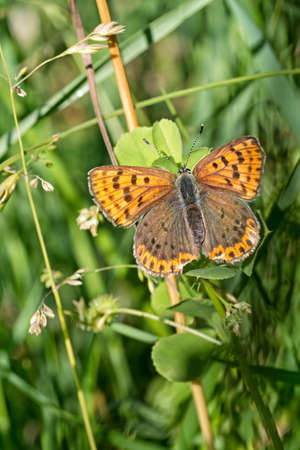 lycaena: Beautiful brown butterfly on grass. Sooty copper, Lycaena tityrus.