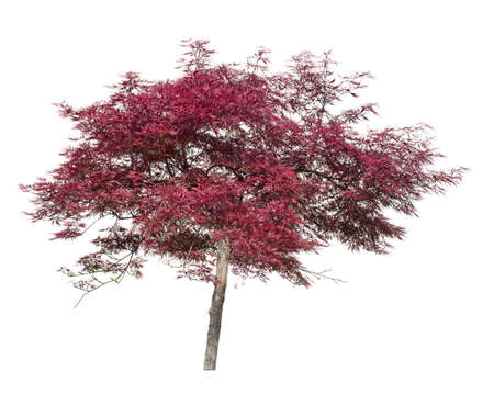 japanese maple tree: Japanese maple tree isolated on white. Popular for gardens. Stock Photo