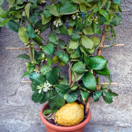sukkoth festival: Citron aka Etrog fruit. In pot. From Liguria, Italy.