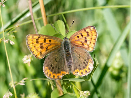 lycaena: Beautiful brown butterfly on grass. Lycaena tityrus.