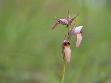 lingua: Tongue orchid in natural habitat. Stock Photo