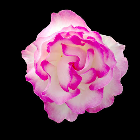 frilly: Beautiful frilly pink and white rose flower isolated on black.