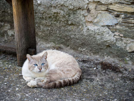 blue siamese cat: Stray cat with blue eyes. Looks at least part Siamese. Stock Photo